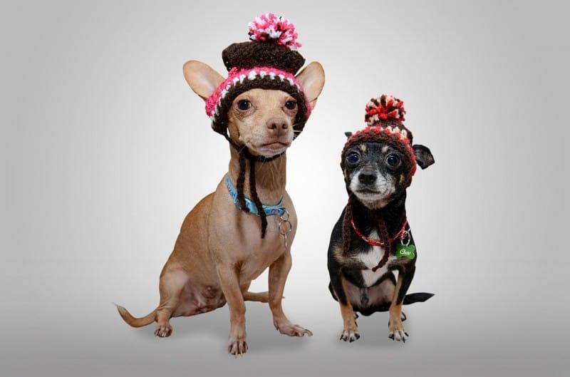 Ecco perchè i cagnolini miniatura sono fragili e spesso malati