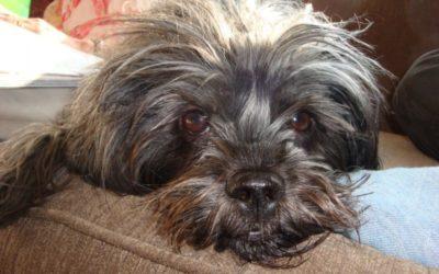 Affenpinscher: il cane del mese!